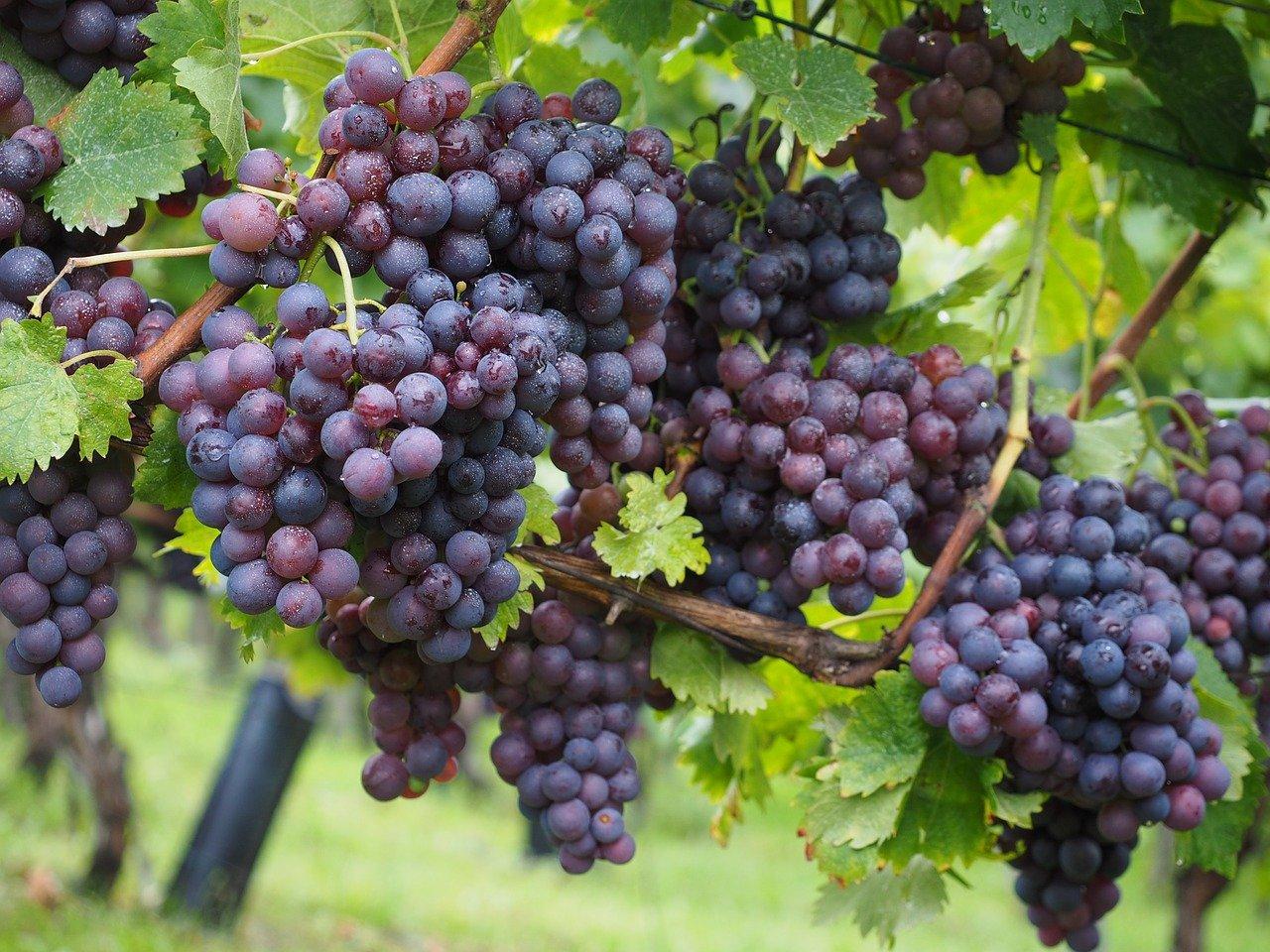 uva rojiza vino tempranillo
